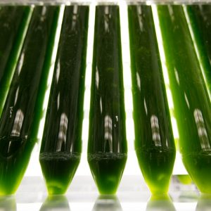 Bright green algae in tubes