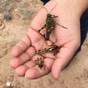 A hand holding three locusts of different sizes