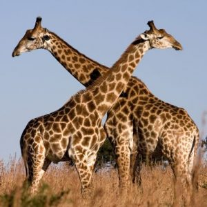 Two giraffes standing in tall grass, their necks intertwined
