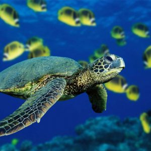close up of sea turtle under water surrounded by tropical yellow fish