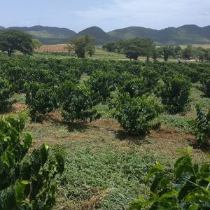 Puerto Rico Coffee Field Image