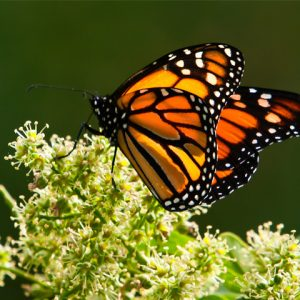 close up of monarch butterfly standing in leafy branch