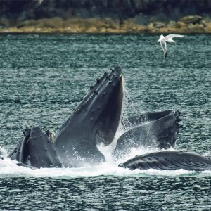 Seagull flying over humpback whales doing bubble net feeding