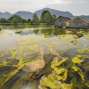 Lake overgrown with algae