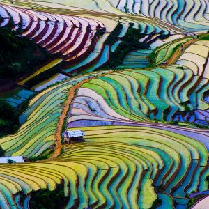 An aerial shot of a colorful field of rice