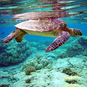 Underwater view of large sea turtle in shallow water