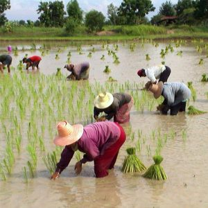 Rice farmers working on field in Thailand