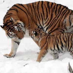 Large tiger with baby in snow