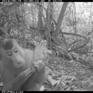 Camera shot of Southern-pig-tailed-macaque checking out his foot