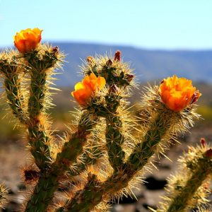 Close view of Sonora Desert vegetation with sprouted flowers