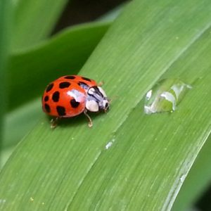 Lady bug on green leaf standing next to drop of water