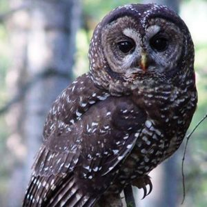 Northern Spotted Owl sitting on tree branch