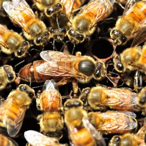 queen bee surrounded by other bees