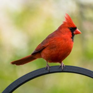Male cardinal bird standing on arched metal piece