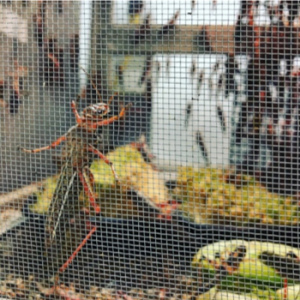 Locusts in a containment unit
