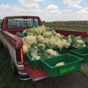 Truck bed filled with cauliflower