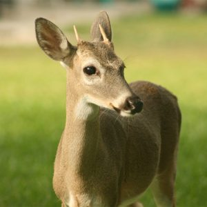 Picture of an endangered deer