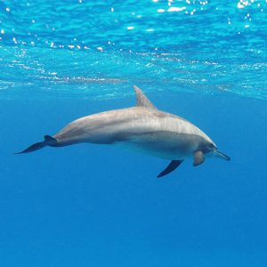 Dolphin swimming close to water surface