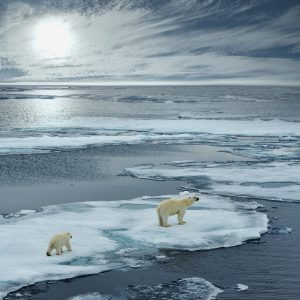 Two polar bears walking across thin Arctic ice