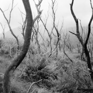 Gray image of dried up trees