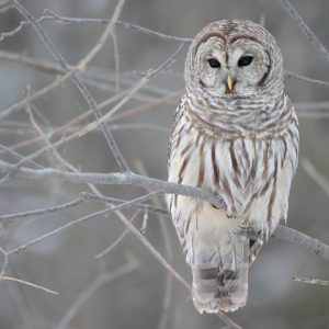Snow owl standing on leafless tree branch