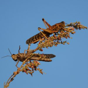 two locusts in tree