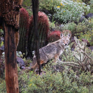 Coyote standing on desert vegetation with his head turned towards the camera