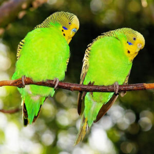Two green parrots sitting on a branch