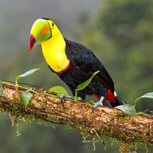 Toucan standing on branch facing the camera