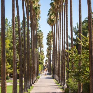 rows of tall palm trees line Palm Walk on ASU Tempe campus
