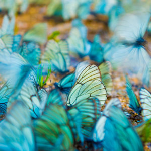 Butterflies standing and flying close to the ground