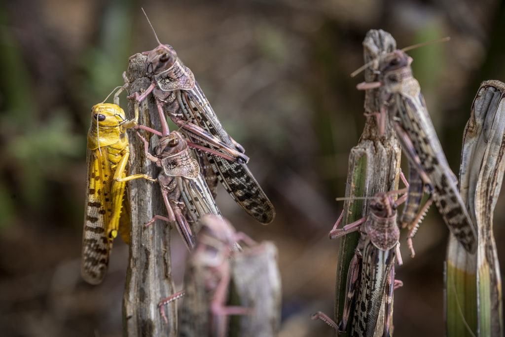 locusts perched on twigs