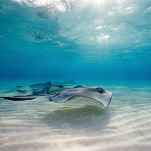 Stingrays swimming in clear shallow water