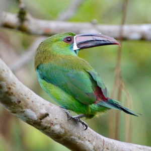 Green young toucan standing on tree branch