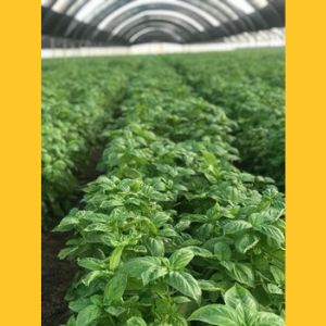 Photo of basil growing in greenhouse