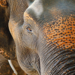 close-up-of-elephant-face-with-a-rope-on-his-neck